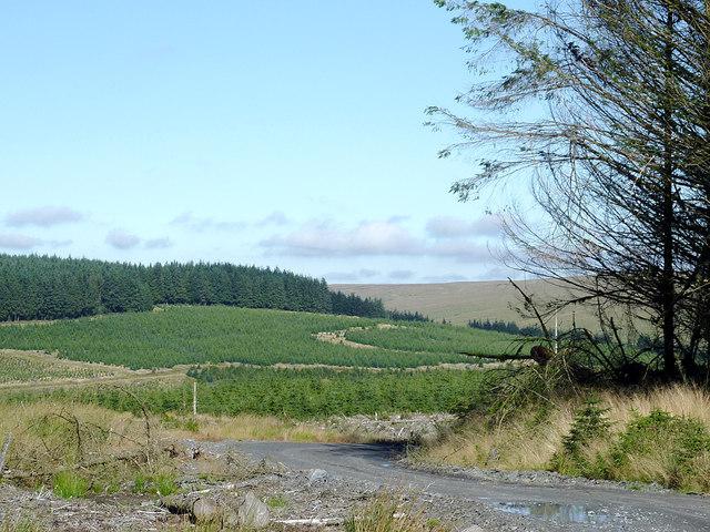 Coniferous forest on Esgair Cloddiad, Powys