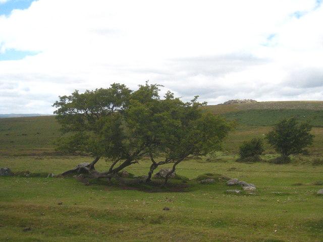 Small clump of trees near Blackslade Mire