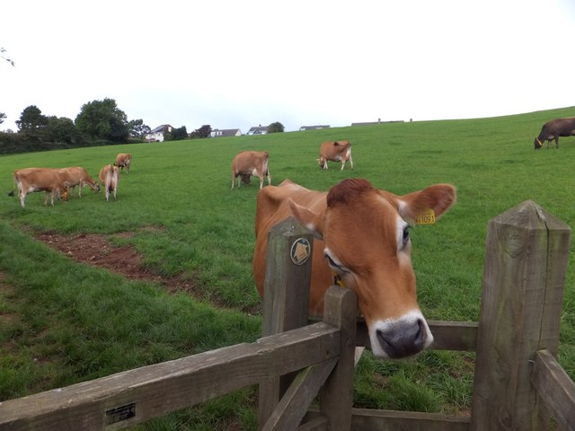 A cow and a kissing-gate