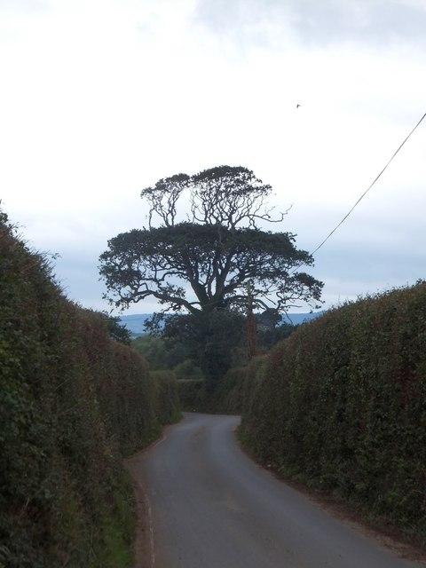 Maer Lane with a distinctive tree