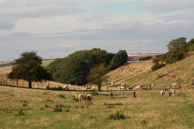 Sheep grazing the valley of Butterwick Whins