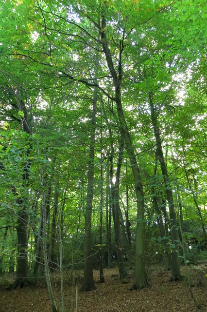 Beech trees in Pound Wood