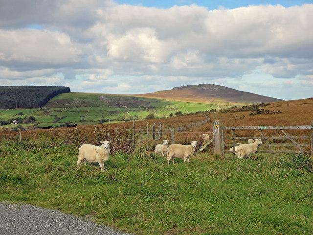 Sheep near Blaen-cleddau