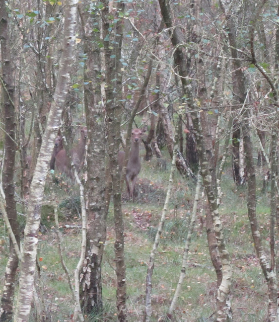 Three Sika Deer