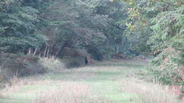 Sika stag and Hind on New Forest footpath