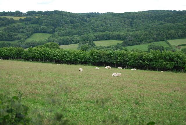 Sheep grazing near Park Hill Farm