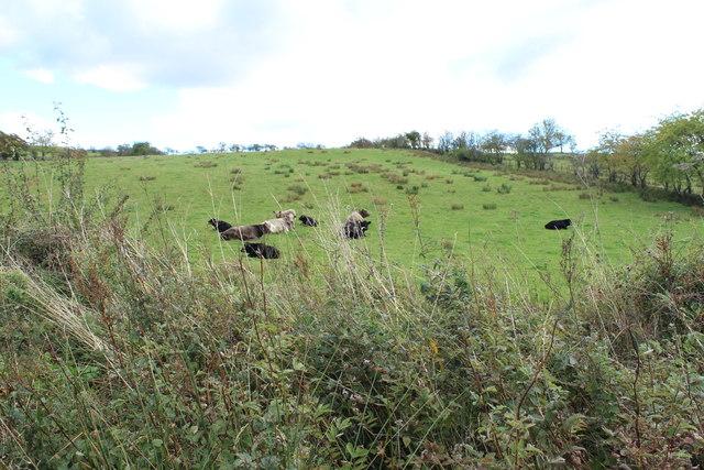 Cattle near Dalvennan