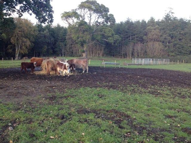 Cows on farmland near Shandwick House
