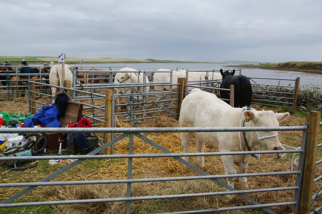 Cattle pens at the East Mainland Show