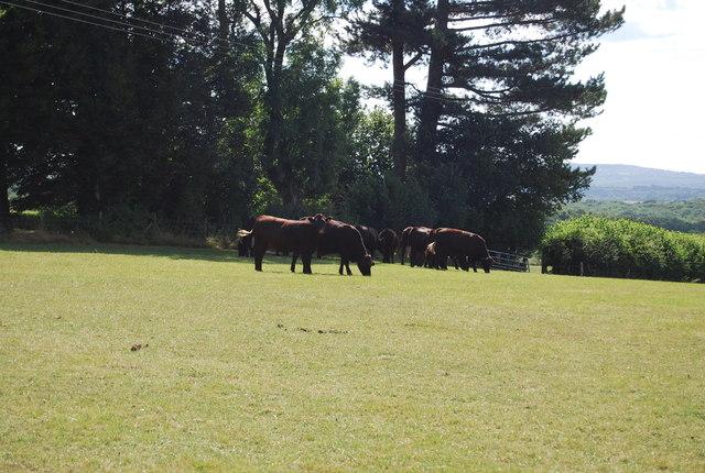 Cattle grazing, Beacon Lane