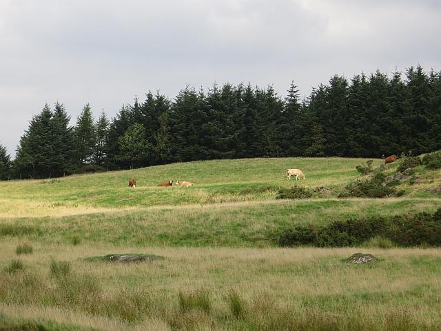 Cattle near Plains