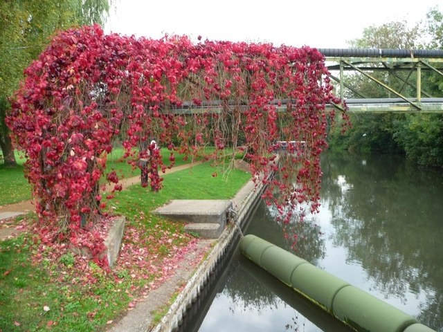 Virginia creeper making its way across the canal
