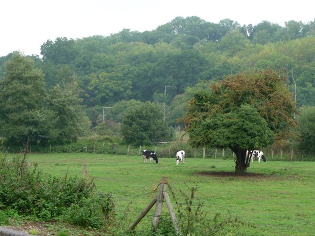 Cattle between the railway and canal, Woolhampton