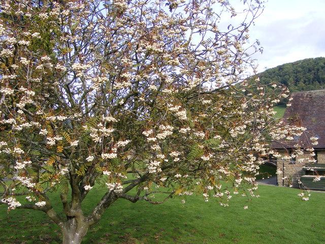 White-Fruited Rowan