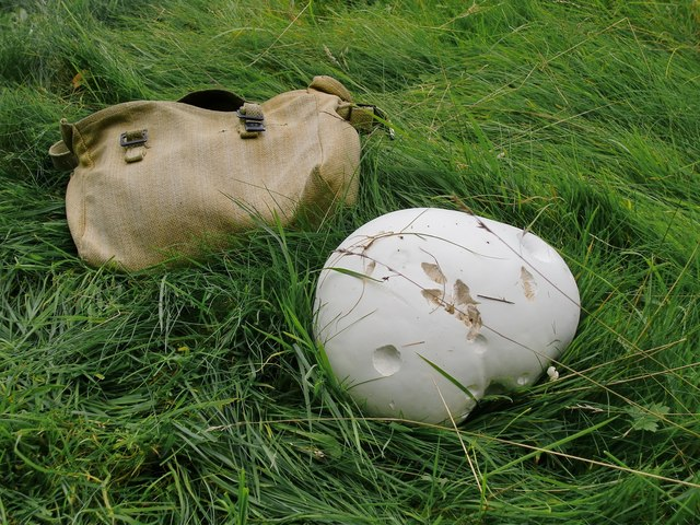 Giant puffball (Calvatia gigantea) - found growing in sheep pasture