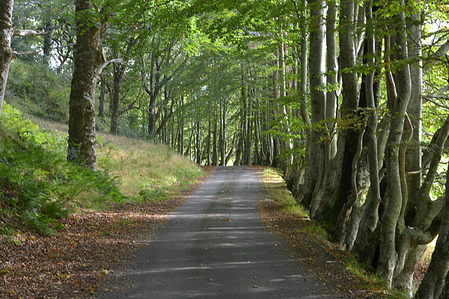 Beech-lined road