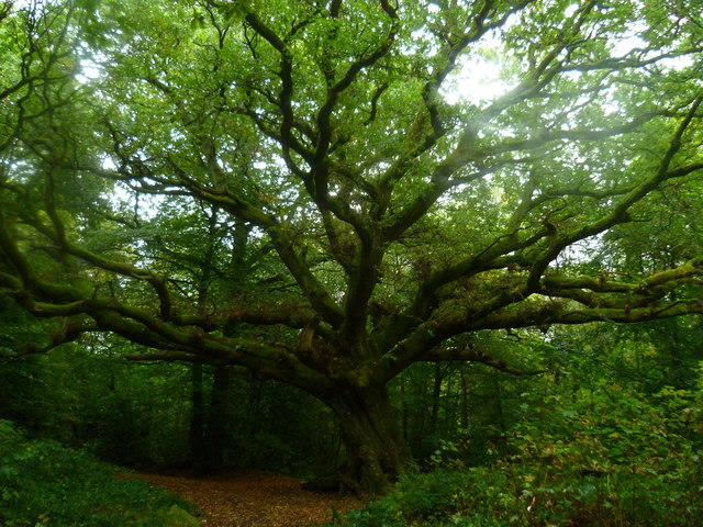 The Lindford Oak