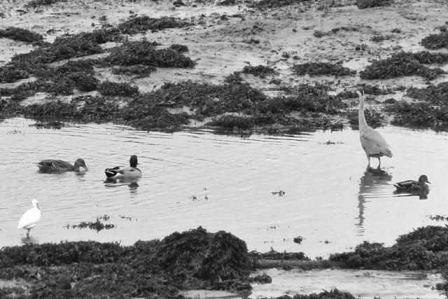 Little egret, mallards and a heron