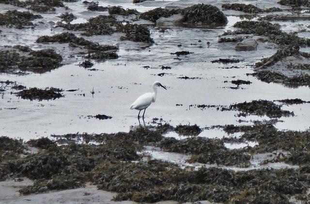 Little egret on the Tweed