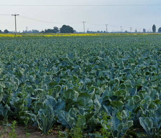 Cabbage field along Sandholme Lane