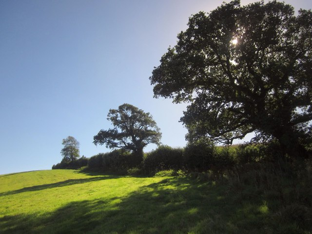 Oaks by the bridleway