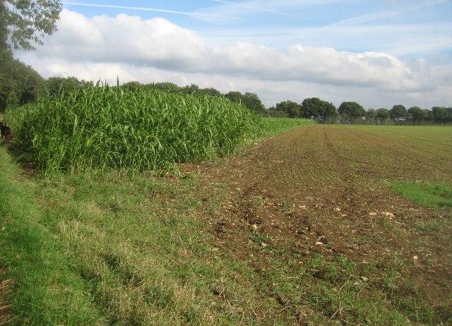 Maize in a field corner