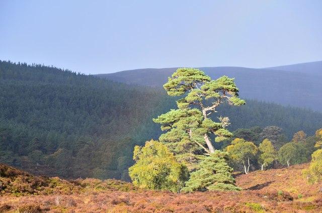 Pine with faint rainbow, Glen Quoich