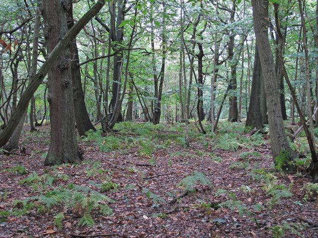 Birch Spring, Writtle Forest