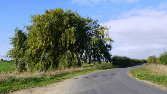 Fine willow tree
