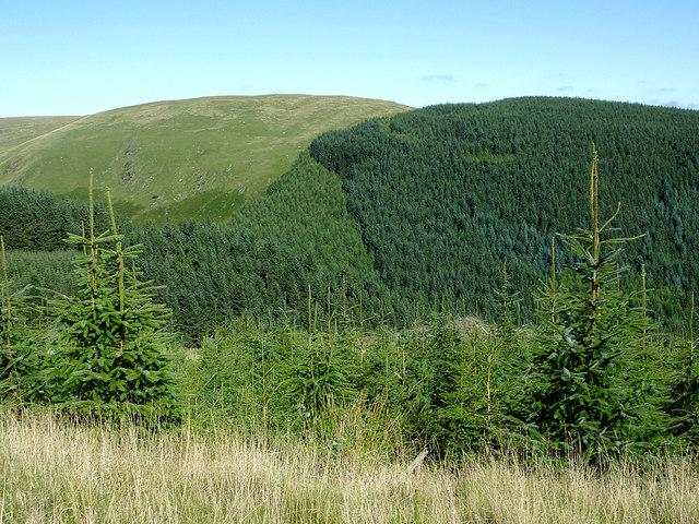 Coniferous forest in Cwm Irfon, Powys