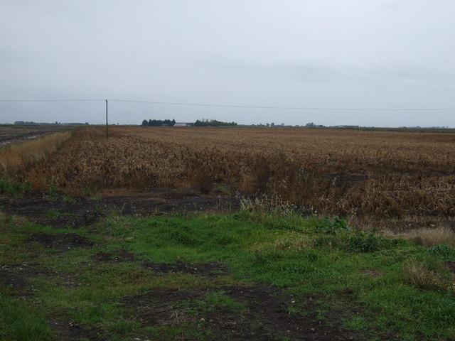 Crop field north of Bourne Drove