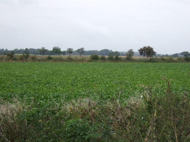 Crop field off Dyke Drove