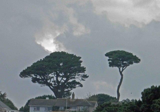 Twisty trees on the skyline above Gyllyngvase Beach