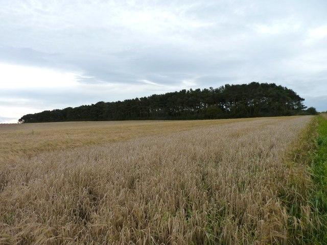 Shelter belt beyond the barley