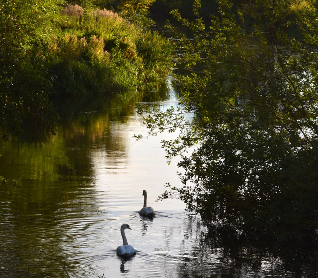 Mute Swans paddling upstream on the River Kennet, Berkshire