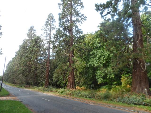 Mature pine trees on the edge of Simon's Wood