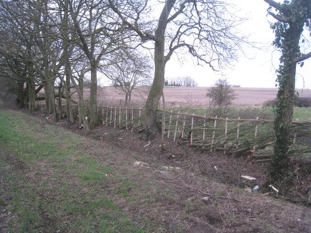 Newly laid hedge near Lound