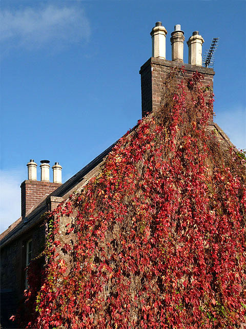 Chimney pots and red ivy