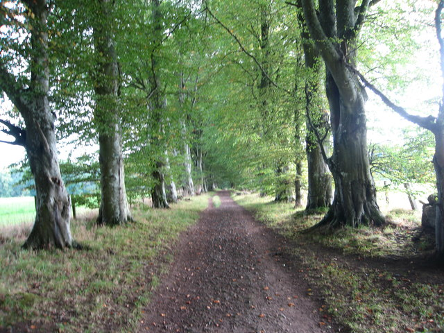 Beech lined track leading towards Kemnay