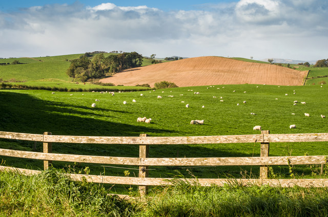 Sheep at West Logan