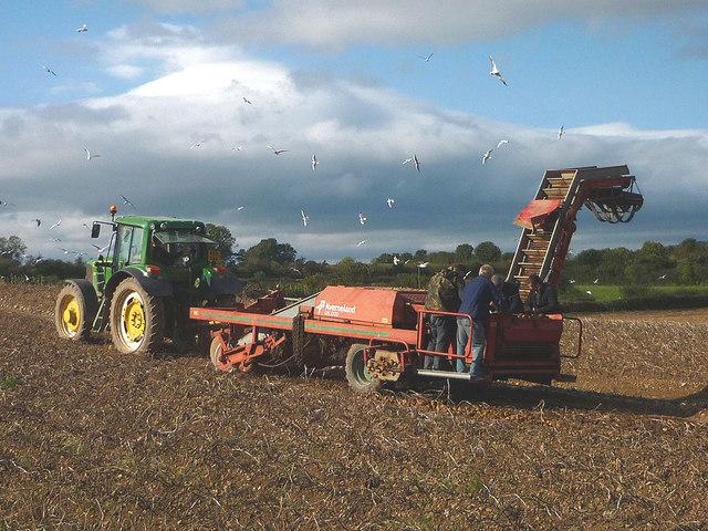 Potato harvest at Allithwaite (2)