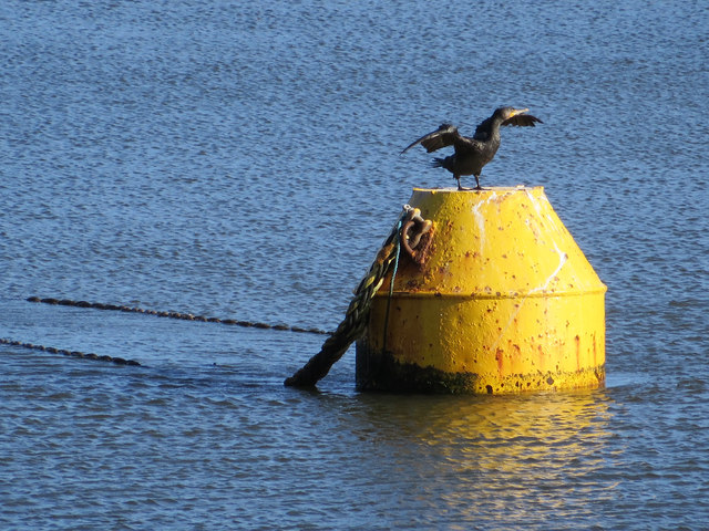 Cormorant, drying off