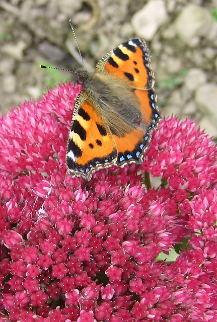 Small tortoiseshell butterfly on sedum