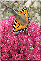 NZ9801 : Small tortoiseshell butterfly on sedum by Pauline E