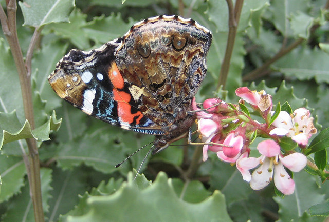 Underside of a Red admiral butterfly
