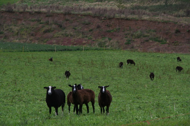 Zwartbles sheep near the footpath from Snipes Dales to Hagworthingham