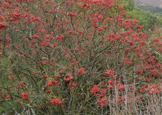An abundance of berries