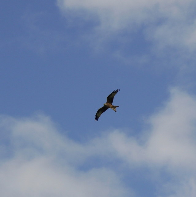 Red Kite over Cotterstock