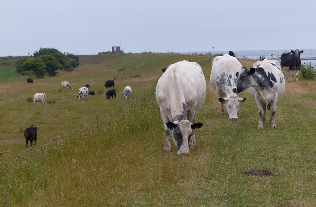 Cows grazing the sea bank