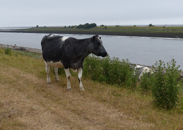 Cow on the sea bank